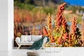 Fotobehang vinyl - De rode quinoa plant in de natuur breedte 390 cm x hoogte 260 cm - Foto print op behang (in 7 formaten beschikbaar)