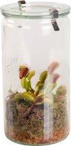 Swampworld Glas XXL - Vleesetende Plant - Venus Vliegenval