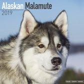 Alaskan Malamute Kalender 2019