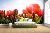 Rode tulpen in de zon Fotobehang 380x265