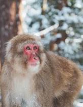Monkey in Snow Blank Lined Notebook