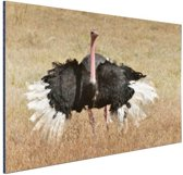 Struisvogel doet paringsdans Aluminium 30x20 cm - klein - Foto print op Aluminium (metaal wanddecoratie)