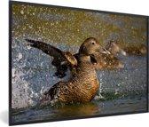 Foto in lijst - Wild klappende eidereend met zijn vleugels fotolijst zwart 60x40 cm - Poster in lijst (Wanddecoratie woonkamer / slaapkamer)