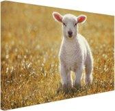 Een jong lam Canvas 80x60 cm - Foto print op Canvas schilderij (Wanddecoratie)