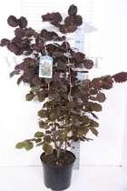 Corylus Maxima 'Purpurea' - Rode Hazelaar 60-80 cm in pot