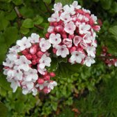 Viburnum Carlesii - Sneeuwbal 60-80 cm pot
