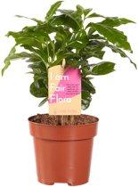 1 Syngonium Pixi  - Kamerplant in Kwekerspot ⌀12 cm - Hoogte ↕20 cm