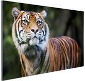 Sumatraanse tijger portret Aluminium 120x80 cm - Foto print op Aluminium (metaal wanddecoratie)