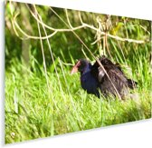 Takahe in het hoge gras Plexiglas 90x60 cm - Foto print op Glas (Plexiglas wanddecoratie)