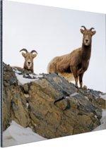 Twee geiten in de sneeuw Aluminium 50x50 cm - Foto print op Aluminium (metaal wanddecoratie)