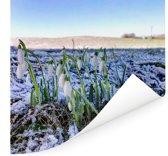 Een groepje wilde sneeuwklokjes Poster 100x100 cm - Foto print op Poster (wanddecoratie woonkamer / slaapkamer)