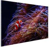 Nemo clown vis bij koraal Aluminium 120x80 cm - Foto print op Aluminium (metaal wanddecoratie)