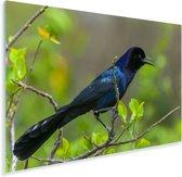 Zwarte bootstaarttroepiaal op een tak in het bos Plexiglas 60x40 cm - Foto print op Glas (Plexiglas wanddecoratie)
