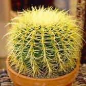 Echinocactus grusonii - Schoonmoedersstoel  - Ø Bol 25-27cm