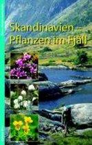 Skandinavien - Pflanzen im Fjäll