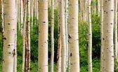 Papermoon Aspen Woods in Summer Vlies Fotobehang 200x149cm 4-Banen