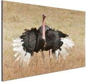 Struisvogel doet paringsdans Aluminium 90x60 cm - Foto print op Aluminium (metaal wanddecoratie)