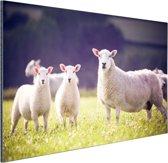 Moeder met lammetjes in weiland Aluminium 60x40 cm - Foto print op Aluminium (metaal wanddecoratie)