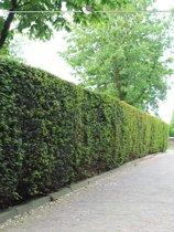 Venijnboom Taxus baccata 80-100 cm, 10x haagplant, incl. bezorging
