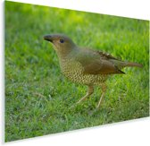 Grijsnekprieelvogel op het gras Plexiglas 180x120 cm - Foto print op Glas (Plexiglas wanddecoratie) XXL / Groot formaat!