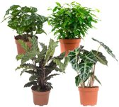 Choice of Green  - 4 Ficus, Ficus, Koffieplant, Olifantsoor of Skeletplant, Calathea - Kamerplant in Kwekers Pot ⌀12 cm  -  Hoogte ↕23 cm