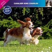 Cavalier King Charles Spaniel Kalender 2020
