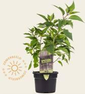 Salvia elegans 'Tangerine' Puur