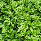 100 x Pachysandra terminalis 'Green Carpet' - Schaduwkruid in 9x9cm pot (stuksprijs €1,50)