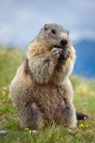Marmot Journal