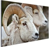 Dikhoornschapen foto Aluminium 90x60 cm - Foto print op Aluminium (metaal wanddecoratie)