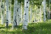 Papermoon Birch Forest Vlies Fotobehang 200x149cm 4-Banen
