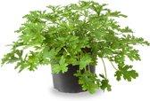 Citroenplant Natuurlijke Muggenverdrijver (pelargonium graveolens)