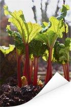 Rabarber groeiend in de aarde Poster 60x90 cm - Foto print op Poster (wanddecoratie woonkamer / slaapkamer)