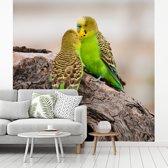 Fotobehang vinyl - Twee mooie grasparkieten geven liefde aan elkaar breedte 360 cm x hoogte 360 cm - Foto print op behang (in 7 formaten beschikbaar)