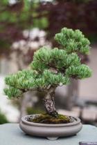 A Bonsai Tree in a Pot Ornamental Plant Journal