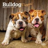 Bulldog Puppies 2020 Mini 7x7