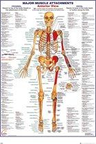 Menselijk lichaam-anatomie-Skelet-Poster-61x91.5cm.