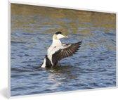 Foto in lijst - Foto van een eider in het water fotolijst wit 60x40 cm - Poster in lijst (Wanddecoratie woonkamer / slaapkamer)