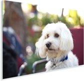 Schattige Maltezer hond Plexiglas 60x40 cm - Foto print op Glas (Plexiglas wanddecoratie)