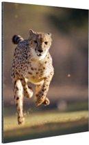 Jagende luipaard foto Aluminium 40x60 cm - Foto print op Aluminium (metaal wanddecoratie)