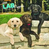 Labrador Retriever Puppies Kalender 2020