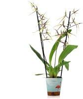 Inca Orchidee Toscane Geel-Bruin