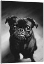 Plexiglas –Pug in het Zwart-Wit – 40x60cm  (Wanddecoratie op Plexiglas)
