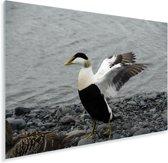 Een grote eidereend spreidt zijn vleugels Plexiglas 180x120 cm - Foto print op Glas (Plexiglas wanddecoratie) XXL / Groot formaat!