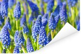 Veld met blauwe bloemen van de druifhyacint Poster 90x60 cm - Foto print op Poster (wanddecoratie woonkamer / slaapkamer)