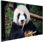 Panda die bamboe eet Glas 90x60 cm - Foto print op Glas (Plexiglas wanddecoratie)