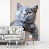 Fotobehang vinyl - Portret van een korthaar breedte 225 cm x hoogte 300 cm - Foto print op behang (in 7 formaten beschikbaar)