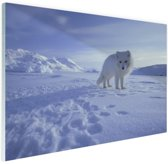 Poolvos in de sneeuw Glas 60x40 cm - Foto print op Glas (Plexiglas wanddecoratie)