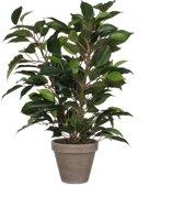 Mica Decorations - Ficus Natasja H 40cm / D 30cm Groen - In bloempot grijs