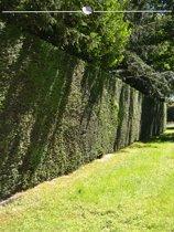 Venijnboom Taxus baccata 140-160 cm, 15x haagplant, incl. bezorging